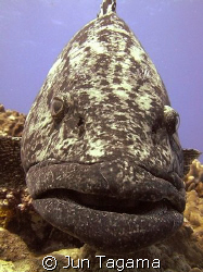 Potato Cod from the famous Cod Hole dive site by Jun Tagama