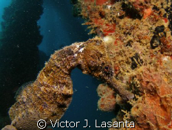 sea horse in crash boat dive site at AGUADILLA, P.R. by Victor J. Lasanta