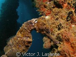 sea horse in crash boat dive site at AGUADILLA, P.R. by Victor J. Lasanta