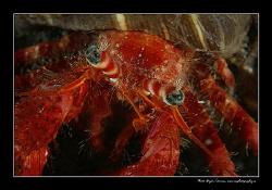 Dardanus calidus - Adriatic Sea 2008 by Dejan Sarman