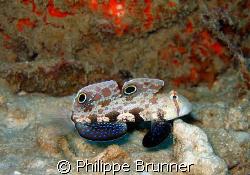 Ce beau gobi oeil de crabe pavanait devant nous. by Philippe Brunner