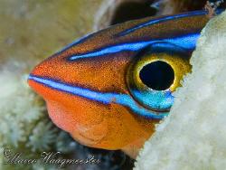 Blue-Stripe Blenny aka Ewa Blenny (Plagiotremus ewaensis)... by Marco Waagmeester