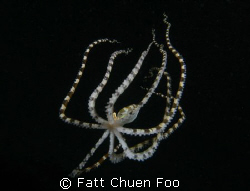 Wonderpus octopus taken at dusk, Lembeh Indonesia with Ca... by Fatt Chuen Foo
