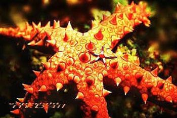 red sea - starfish - COMPOSING > little star - Nik.RS  by Manfred Bail