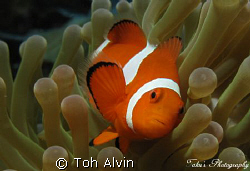 Clownfish by Toh Alvin