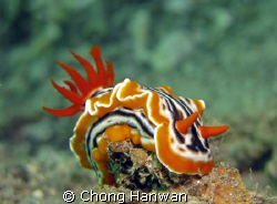 taken by canon G9 in lembeh by Chong Hanwan