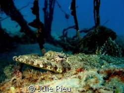 Crocodile fish on Pange South off Stonetown, Zanzibar by Julie Rieu