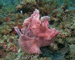 Pink Rhinopia, shot at Lembeh. Canon G9 & Inon 2000 by Alex Lim
