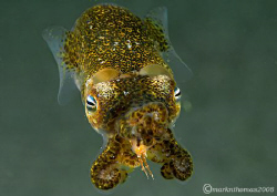 Little Cuttle.