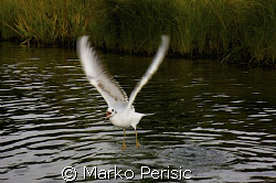 A Gull takes flight as i surface from a lake dive in Tilb... by Marko Perisic