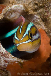 Blue Striped Fangblenny.  Ningaloo Reef, Western Australi... by Ross Gudgeon
