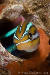 Blue Striped Fangblenny.  Ningaloo Reef, Western Australi... by Ross Gudgeon
