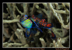 Mating Mandarin Fish,  D300, Nikkor 60mm AF-S Macro by Kay Burn Lim