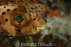 Balloonfish-Canon 5D 100 mm macro by Richard Goluch