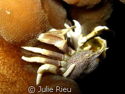 Anemone crab munching away, Koh Phi Phi, Thailand by Julie Rieu