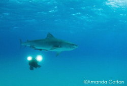 Tiger shark with videographer diver at Tiger Beach, Baham... by Amanda Cotton