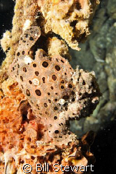 """Painted Frogfish""  Photo taken on a night dive at Basura... by Bill Stewart"