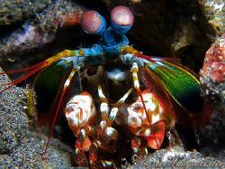 Colorful Peacock Mantis Shrimp (Odontodactylus scyllarus)... by Marco Waagmeester