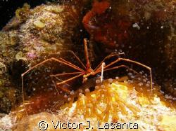 arrow crab in a anemone in mermaid point dive site at par... by Victor J. Lasanta