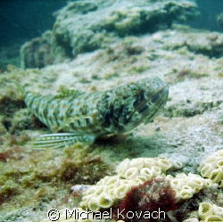 Lizard fish on the Inside reef at Lauderdale by the Sea by Michael Kovach