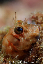 Rockskipper blenny. Picture taken on the second reef off ... by Anouk Houben