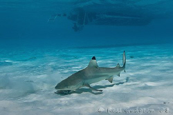 Blacktip Reef Shark.  Cocos (Keeling) Islands.  Canon 20D... by Ross Gudgeon