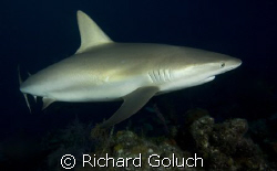 Reef Shark-Canon 5D 17-40mm by Richard Goluch