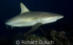 Reef Shark-Canon 5D 17-40mm by Richard Goluch