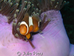 Cheeky little clown fish, for once, agreed to pose. by Julie Rieu