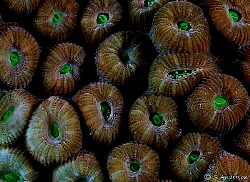 They could be candies! Beautiful coral polyps. This photo... by Steven Anderson