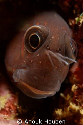 Another blenny portrait. Picture taken on the second reef... by Anouk Houben