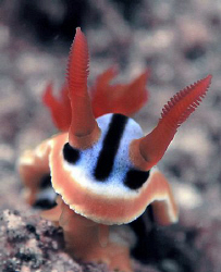 Chromodoris annae, Lembeh by Doug Anderson
