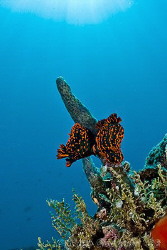 Love in the sun.  Two Nembrotha kubaryana creating the ne... by Ross Gudgeon