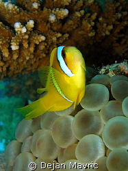 Soft balls under hard coral. And a nemo, which I haven't ... by Dejan Mavric