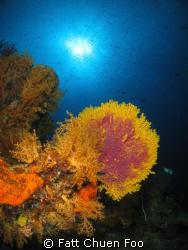 Seafan taken in Pulau Tenggol, Malaysia. Canon G9, Inon l... by Fatt Chuen Foo