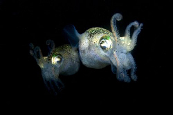 Squid side by side in a defensive posture. Photographed d... by Cal Mero