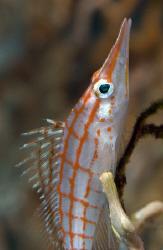 Longnose hawkfish with the 150mm macro lens. by Dray Van Beeck