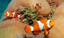 """Western Clown Anemonefish (Amphiprion ocellaris)""  Photo... by Bill Stewart"