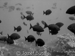 "B&W ""Nenue"" (shool of chubs ),Mala Pier,Lahania,Maui Can... by Jozef Butala"