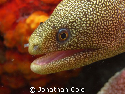 gold spotted eel shot in Bonaire on the west coast, using... by Jonathan Cole