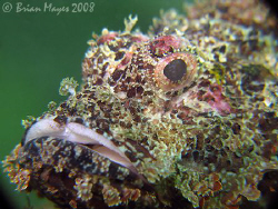 """Come on, smile""...Raggy Scorpionfish (Scorpaenopsis veno... by Brian Mayes"