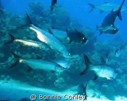 Tarpon seen in Grand Cayman August 2008.  Photo taken wit... by Bonnie Conley
