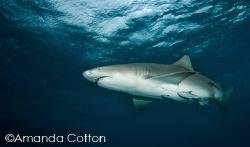 One of the many lemon sharks at Tiger Beach, Bahamas.  ... by Amanda Cotton