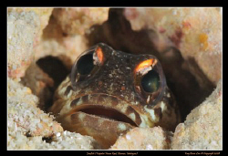 Jawfish, Kapalai, Borneo, Malaysia,  D300, 105VR Macro by Kay Burn Lim
