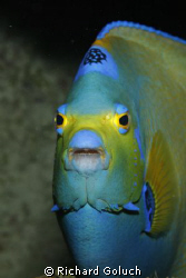 Queen Angelfish Canon 5D 100 mm macro by Richard Goluch