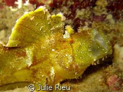 Leaf fish, yawning ;) by Julie Rieu