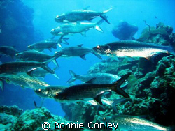 Grand Cayman is the place to see tarpon.  They were so th... by Bonnie Conley
