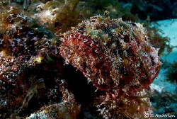 This photo is of a Spotted Scorpionfish, carefully camofl... by Steven Anderson