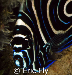 Juvenile emperor angelfish, Piti Channel, Guam by Eric Fly