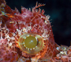Eye of a scorpion fish. Casio Exilim z 1200 by Andrew Macleod
